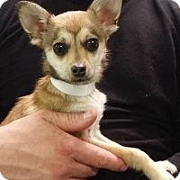 Adopt A Pet :: Roxann - Muskegon, MI