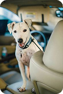 Jack Russell Terrier Dog for adoption in Los Angeles, California - Jackson