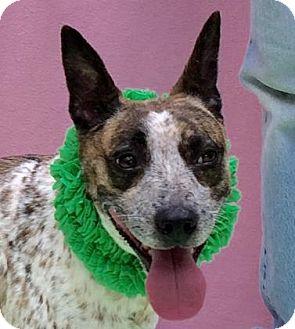 Blue Heeler Mix Dog for adoption in Evansville, Indiana - Nevada