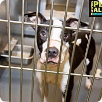 Adopt A Pet :: Bailey - Goodlettsville, TN