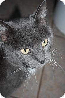 American Shorthair Cat for adoption in Stilwell, Oklahoma - Kit-Kat