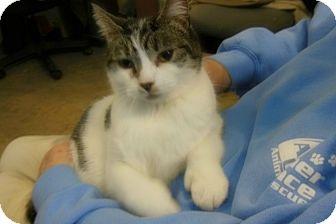 Domestic Shorthair Cat for adoption in Sanford, Maine - Bean