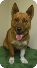 Corgi/Terrier (Unknown Type, Medium) Mix Dog for adoption in Gary, Indiana - Lenna