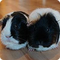 Adopt A Pet :: Fluffy - Brooklyn Park, MN