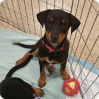 Adopt A Pet :: Costello - Temecula, CA