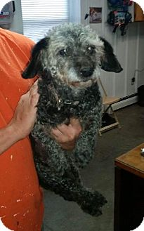 Poodle (Miniature)/Dachshund Mix Dog for adoption in Huntley, Illinois - Jewels