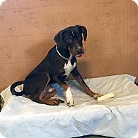 Adopt A Pet :: HENRY D. HOUND - Boca Raton, FL