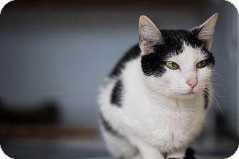 Domestic Shorthair Cat for adoption in Austintown, Ohio - Priscilla