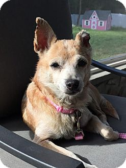 Chihuahua Mix Dog for adoption in Philadelphia, Pennsylvania - SWEETS!