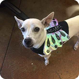 Chihuahua Mix Dog for adoption in Denver, Colorado - Skinny Mini