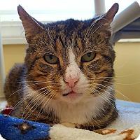 Domestic Shorthair Cat for adoption in Salisbury, Massachusetts - Octave