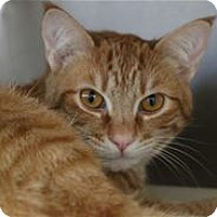 Domestic Shorthair Cat for adoption in Lincoln, California - Charles (Milo)