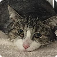Adopt A Pet :: SILVER - Tucson, AZ