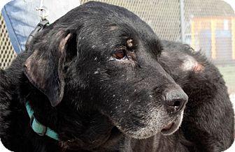 Labrador Retriever Dog for adoption in San Antonio, Texas - Maggie
