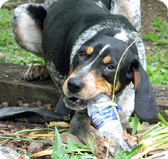 Bluetick Coonhound Dog for adoption in Dallas, Texas - Hank