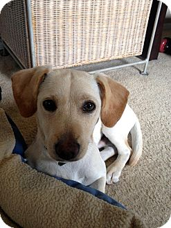Dachshund/Jack Russell Terrier Mix Dog for adoption in Los Angeles, California - Benji