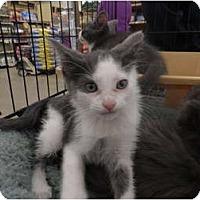 Adopt A Pet :: Mowgli - Warren, MI