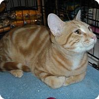 Adopt A Pet :: Boots -Adoption Pending! - Arlington, VA