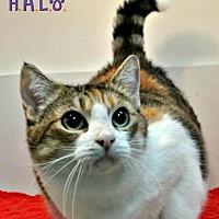 Domestic Shorthair Cat for adoption in Sebastian, Florida - Peanut
