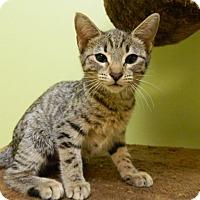 Adopt A Pet :: Campari - The Colony, TX