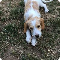 Adopt A Pet :: Buttercup - Tumwater, WA