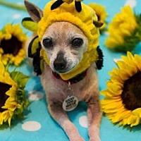 Chihuahua Mix Dog for adoption in Scottsdale, Arizona - Tink
