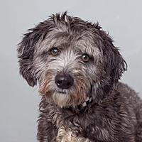 Bichon Frise/Cocker Spaniel Mix Dog for adoption in Mission Hills, California - Harpo