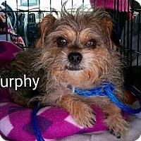 Adopt A Pet :: Murphy - Encinitas (San Diego), CA