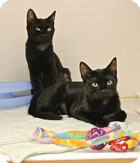Domestic Shorthair Cat for adoption in Gloucester, Massachusetts - Helena