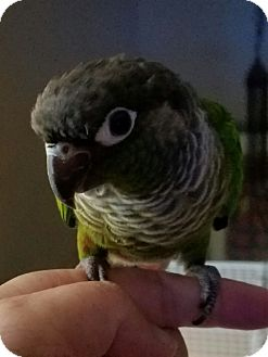 Conure for adoption in St. Louis, Missouri - Rio