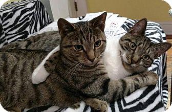 Domestic Shorthair Cat for adoption in Philadelphia, Pennsylvania - Murph and Ty