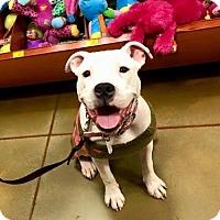 Adopt A Pet :: Midge - Charlotte, NC