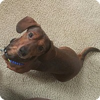 Adopt A Pet :: CUJO - Portland, OR