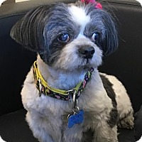 Adopt A Pet :: Trixie - Las Vegas, NV