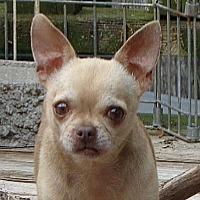 Adopt A Pet :: #49 Davey Short Legs/ - Festus, MO