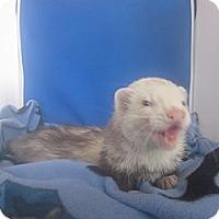 Adopt A Pet :: Kovu - Toledo, OH