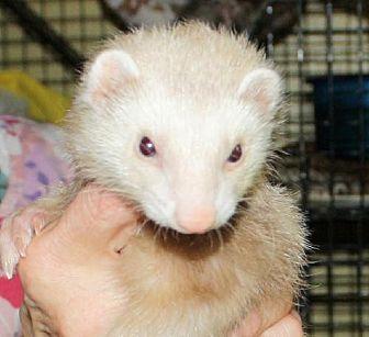 Ferret for adoption in Pinesville, Oregon - Flower