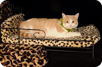 American Shorthair Cat for adoption in mishawaka, Indiana - Lily