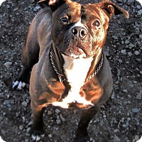 Boxer/Terrier (Unknown Type, Medium) Mix Dog for adoption in Bruce Township, Michigan - Gretal