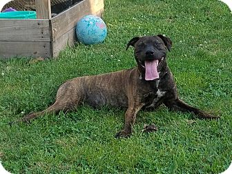 American Pit Bull Terrier Mix Dog for adoption in Des Moines, Iowa - Turbo