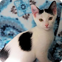 Domestic Shorthair Cat for adoption in Houston, Texas - Spot
