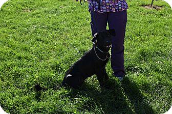 Labrador Retriever Mix Dog for adoption in North Judson, Indiana - Boo
