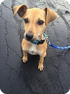 Chihuahua Mix Puppy for adoption in Hainesville, Illinois - Jordan