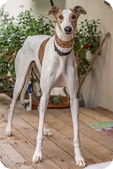 Greyhound Dog for adoption in Walnut Creek, California - Elgin