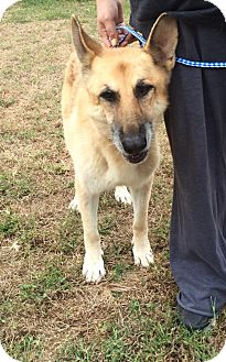 German Shepherd Dog Mix Dog for adoption in Greeneville, Tennessee - Tiffany
