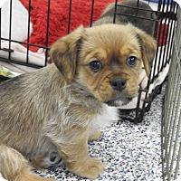 Adopt A Pet :: Peter - Washington, PA