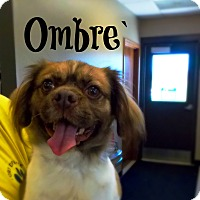 Adopt A Pet :: Ombre` - Defiance, OH
