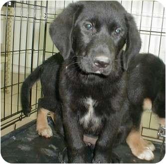 Labrador Retriever Mix Puppy for adoption in Starkville, Mississippi - Elsie