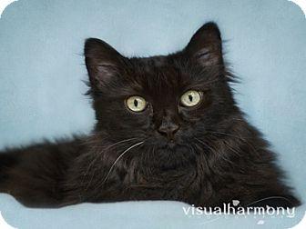 Maine Coon Cat for adoption in Phoenix, Arizona - Big Papi