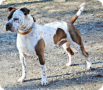 American Pit Bull Terrier/Bluetick Coonhound Mix Dog for adoption in Tinton Falls, New Jersey - Cesear